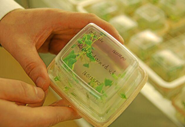 Förädling med hjälp av förädlingstekniken Crispr Cas9, på Sveriges Lantbruksuniversitet ska ge motståndskraftig potatis.