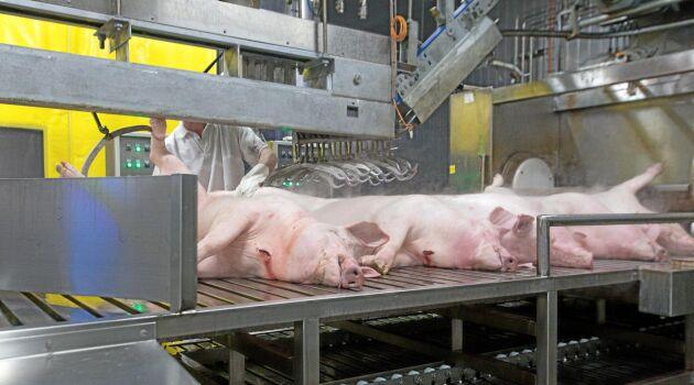 Den nya grislinjen på Skövde Slakteri togs i fullt bruk i början av 2016. Nu har det gjorts investeringar även på nötsidan.