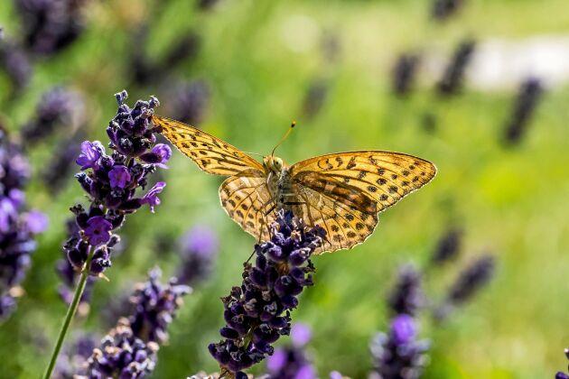 Forskare i Lund har upptäckt att stora fjärilars vingar kupas när de slås ihop. Det skapar ett lufttryck som gör vingslagen effektivare. På bilden en silverstreckad pärlemorfjäril.
