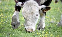 Man hittad död – misstänks ihjälstångad av tjur
