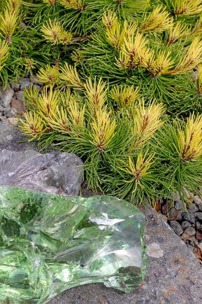 Bergtall, Pinus mugo 'Rositech', har lysande ljusgula årsskott.
