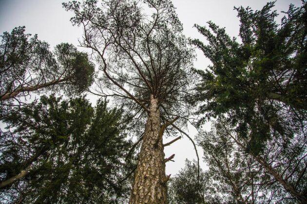 Skogsstyrelsen har bjudit in skogsbolagen för att diskutera ansvaret för skogar med höga naturvärden i nordvästra Sverige.