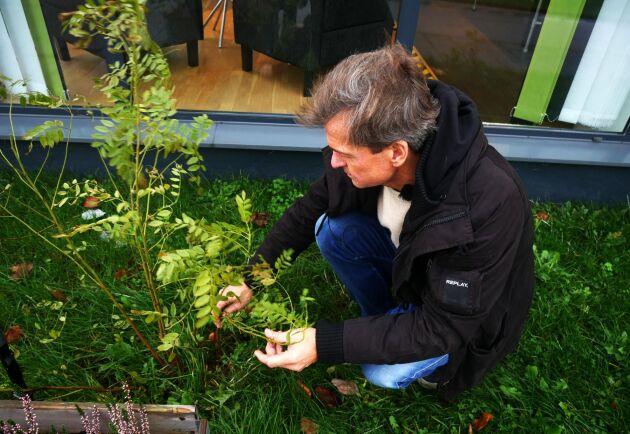 Efter att ha planterat ett gäng lakritsplantor hemma i trädgården tog han med några skott och satte utanför butiken. Trots det kallare klimatet verkar plantan trivas bra.
