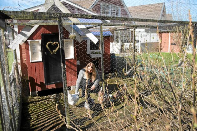 Hönsgården är byggd enligt konstens alla regler –och sedan lite till. Förutom lekstugan med till bygget har Camilla planterat buskar som ger skugga samt fixat en liten gungpinne till hönorna. –Jag trodde att de skulle tycka jättemycket om den, men det är aldrig någon som sitter där, säger hon med ett skratt. Foto: Pia Gyllin