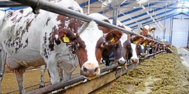 Risk för färre och sämre mjölkkor