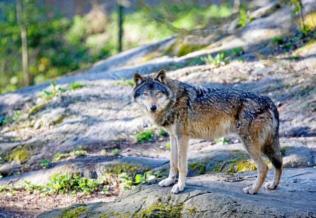 Ingen ansvarig har några sakliga argument för frilevande varg i Sverige, skriver Göte Lindgren.