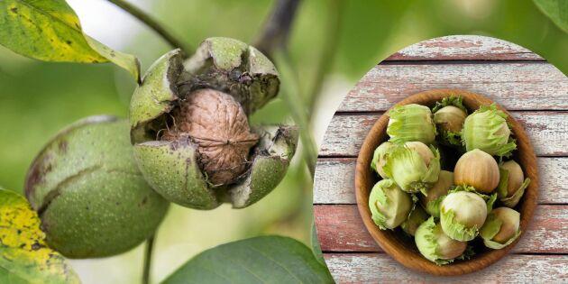 Odla nötter: Så lyckas du med hassel och valnöt