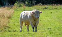 Coop och Scan sponsrar tjurköp