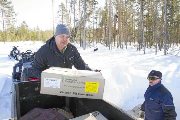 Benny Grahn i gropen och Jan Lidström langar tallplantor i kartonger för förvaring under ett snötäcke på ett hygge nära Piteå.