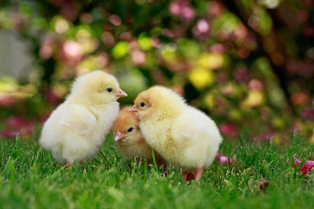 Kycklingar behöver få grönt att äta ända från början. Finhacka för små näbbar.
