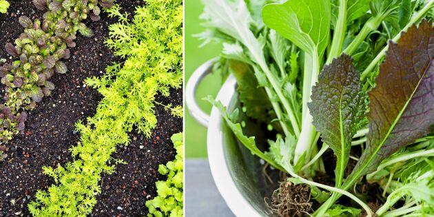Så i augusti och skörda i höst: Asiatiska bladgrönsaker