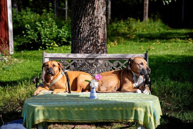 Blandrashundarna Sigge och Sara har bänkat sig på trädgårdssoffan.