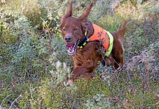 Den röda settern far iväg genom skogen på sök efter skogsfågel.