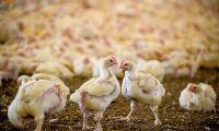 Sommaren ökar risk för bakterieutbrott i kyckling