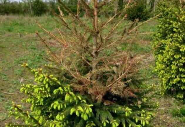 Ett tjugotal skadegörare kan finnas i julgransodlingarna enligt en undersökning från 2015. Allt från svampar till insekter och som dödar grenar, toppar och hela träd.