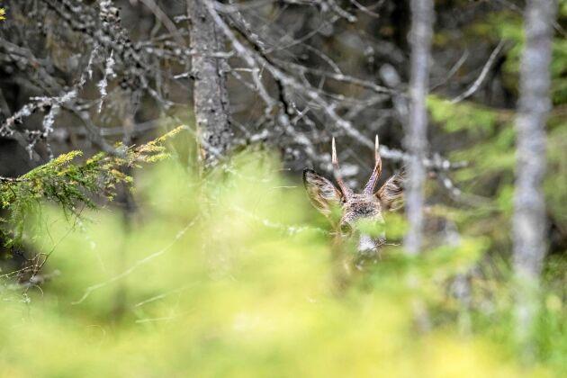 RÅDJUR. Rådjuren finns ofta nära oss människor och visar sig på fält men i skogen är de duktiga på att dölja sig.