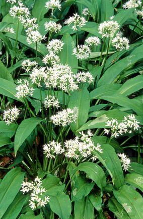 Ramslök (Allium ursinum). Vårdelikatess färsk i kalla såser och pesto. Tappar lite i smak efter uppvärmning. Hela plantan är ätlig men främst använder man skott och blad. Föredrar fuktig, mullrik jord, lundmiljö. Förekommer vild i södra Sverige där den bildar stora bestånd, men kan odlas även i högre zoner, gärna tillsammans med strutbräken som gillar samma miljö, under träd och buskar. Efter blomning vissnar plantan ner. Ej att förväxla med den giftiga liljekonvaljen. Foto: IBL.