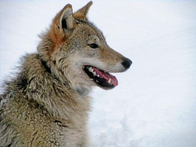 Både jaktkvoter och antalet fällda älgar har minskat de senaste åren i takt med förekomsten av varg.
