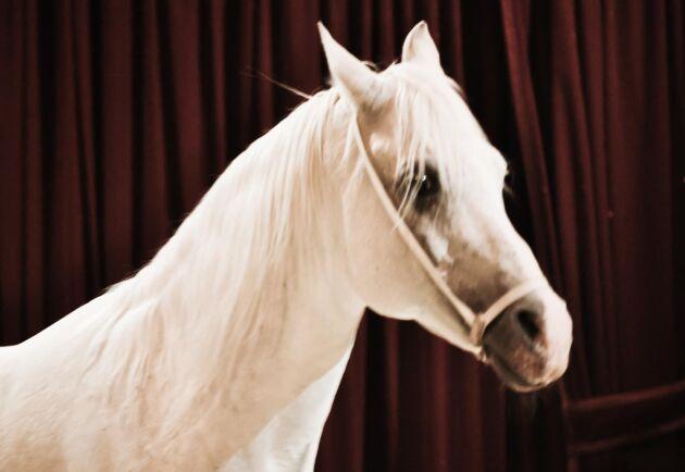 Arkivbild. Hästen på bilden har inte med artikeln att göra. Enligt föreskrifterna ska cirkusdjur ha möjlighet att röra sig genom daglig utevistelse.