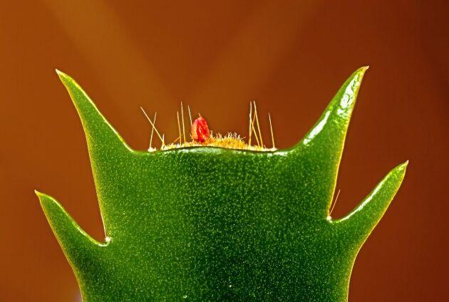 Små borst men bladformen är fel. Taggig och rakt avklippt betyder novemberkaktus.