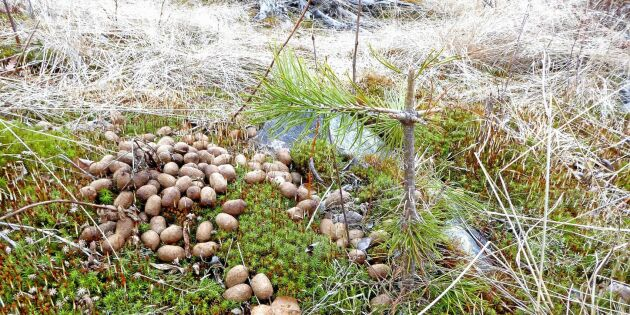 Stora betesskador på plantor efter branden i Västmanland