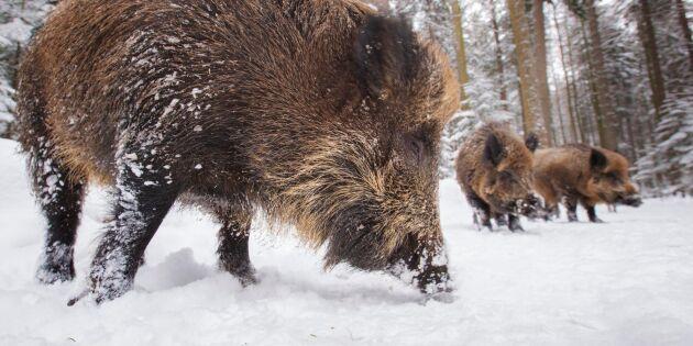 """""""Cesiumtesterna av vildsvin måste fortsätta"""""""
