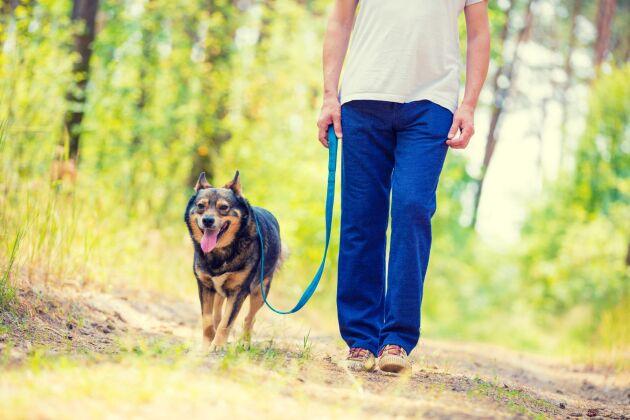 Hundar ska alltid hållas kopplade under perioden den 1 mars till den 20 augusti, om du inte har sådan kontroll över din hund att det motsvarar ett osynligt koppel.