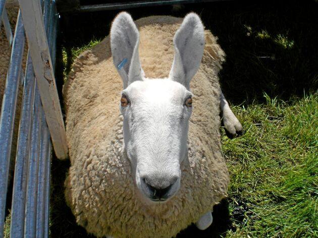 Border leicester är en gammal brittisk kött- och ullras med snabb tillväxt.