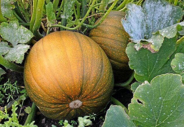 Förutom att odla pumpor har företaget M. Magnusson en av landets största matpotatisodlingar på 300 hektar.