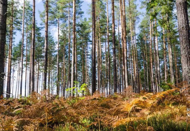 Vi stöttar gärna ökad kolinlagring i skogen, men tror inte att det bäst görs genom att skogsägarna avstår från att avverka, skriver SDs skogspolitiske talesperson Mats Nordberg i en debattreplik.