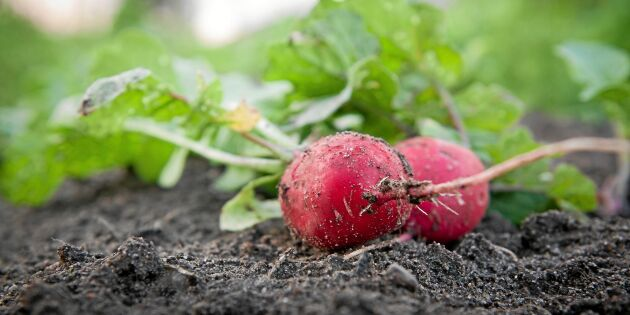 Så enkelt odlar du rädisor!