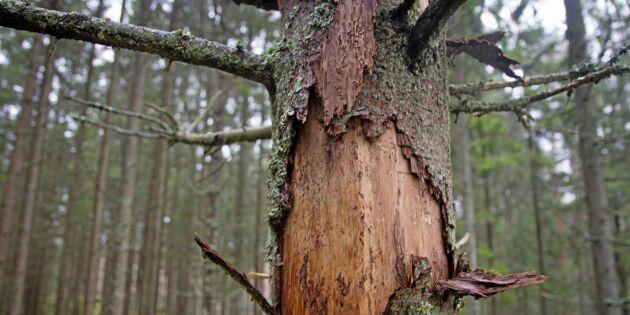 """Skogsägare: """"Ta bort alla barkborrehärdar"""""""