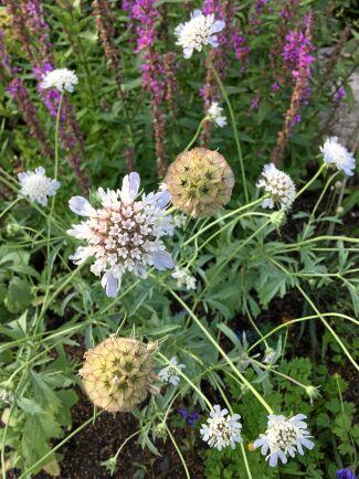 Väddar av alla slag är uppskattade av pollinerare.