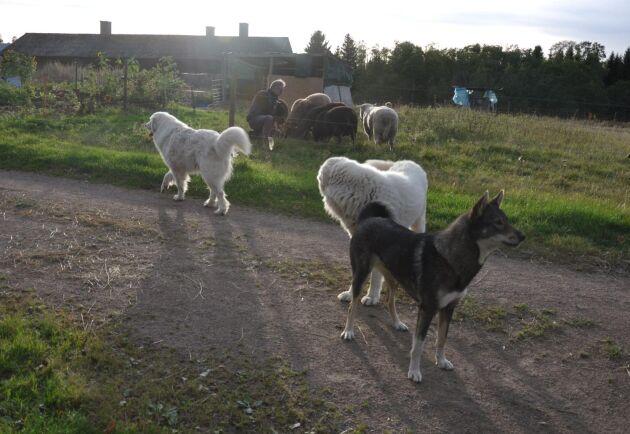 De boskapsvaktande hundarna är av rasen pyrenéerhund respektive maremma. Gårdens jakthund, den nättare älghunden Asta, är en mes i sällskapet.