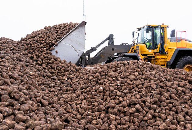 EU:s jordbrukskommissionär hoppas att neonikotinoider åter ska få användas för sockerbetor.