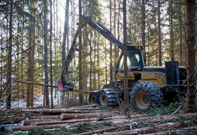 Många förstagallringar sker försent, när skogen är så hög att den blir känslig för snö- och stormskador.