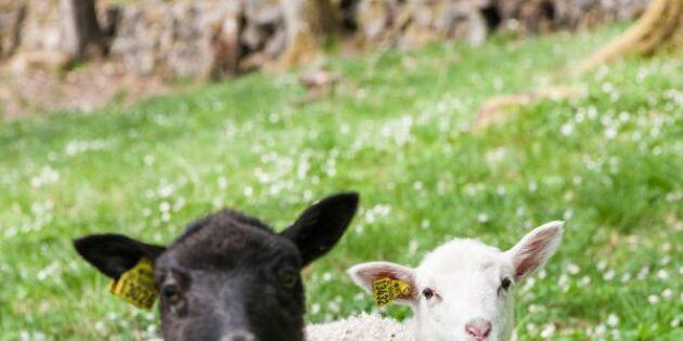 De förverkligade sin dröm om ekologiska får