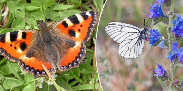 Dagfjärilar pollinerar växter nästan lika effektivt som bin