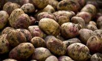 Revansch för svenska potatisodlare