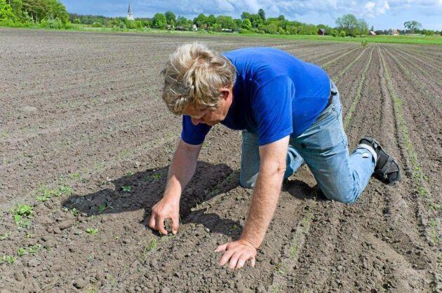 """""""De ursprungliga vetesorterna har växt här naturligt och har anpassat sig efter vårt klimat. I det moderna jordbruket har många vetesorter tagits fram i varmare klimat, i till exempel Frankrike, Argentina eller Australien"""", säger Sten Rosvall."""