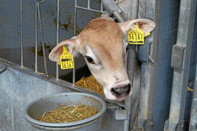 Könssorterad. Ostenrieds använder könssorterad sperma för att kvigkalvar från de bästa korna. Kor som inte ingår i avelsplanerna semineras också med könssorterad sperma, men av köttraser för att få värdefullare tjurkalvar.