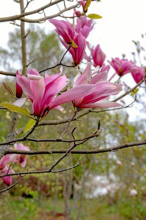 Magnolia hör till de träd som är bäst att beskära under juli–september.