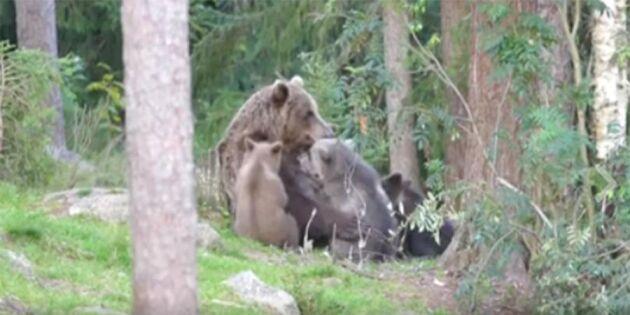 Unik film: Se björnmammans rörande moderskärlek!