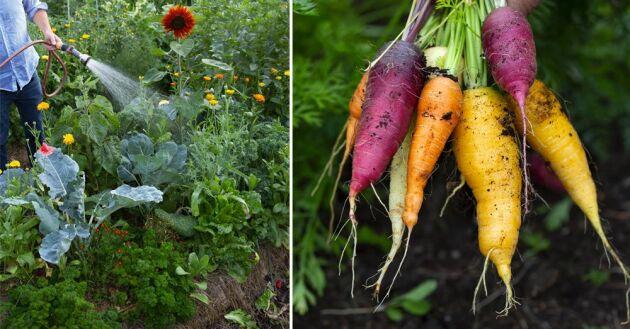 Lär dig allt om hur du anlägger och sköter en köksträdgård utan att ta ett endaste spadtag.