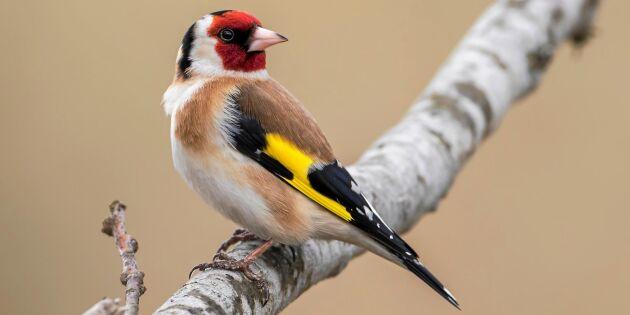 Här är listan över svenska fågelarter som ökar kraftigt