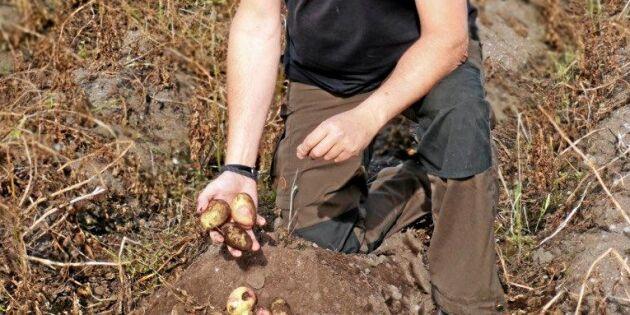 Rekordhögt potatispris efter torra sommaren