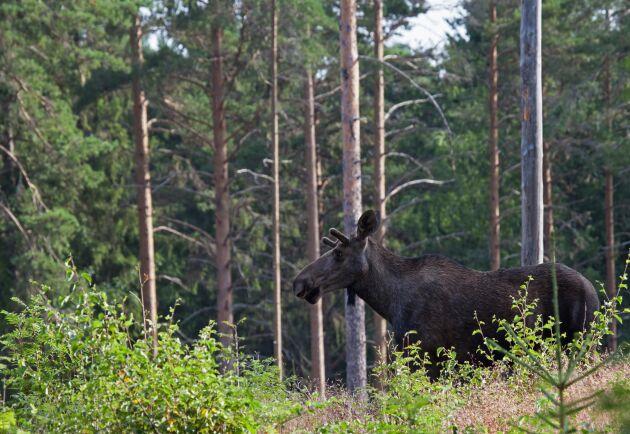 Jägarnas Riksförbund riktar skarp kritik mot Skogsstyrelsen sätt att beräkna betesskador. Arkivbild