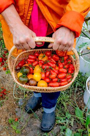 Tomaterna är ett dragplåster på marknader. Adriana har en hel odlingstunnel full med över 70 sorter.