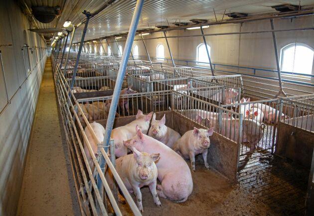 Bättre betalt för grisen på båda sidor Öresund.