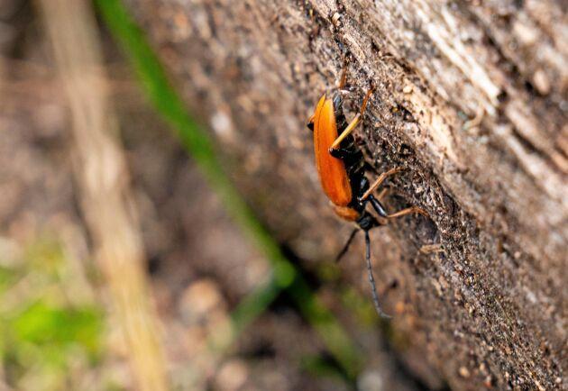 Träd som får vara kvar i skogen trots att de har dött och fallit blir boplatser för flera olika typer av skalbaggar. Här en rödgul blombock som lägger ägg i ett dött träd som ligger vält över vandringsstigen.